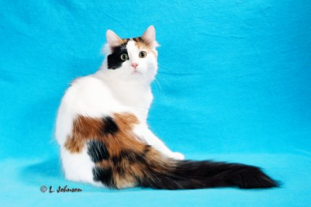 Vannabel 3rd Best Turkish Van