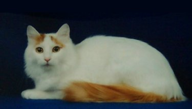 Tala 2nd best Turkish Van