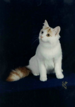 Talitha 2nd best Turkish Van